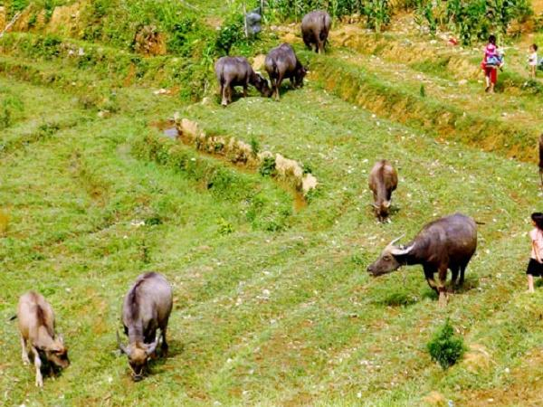 N-Những loại thức ăn có hại cho gia súc cần chú ý