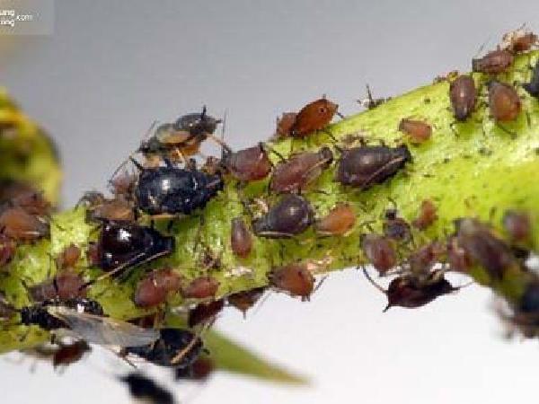 SB-Tác hại của rầy mềm (rệp cam) với cây ăn quả có múi