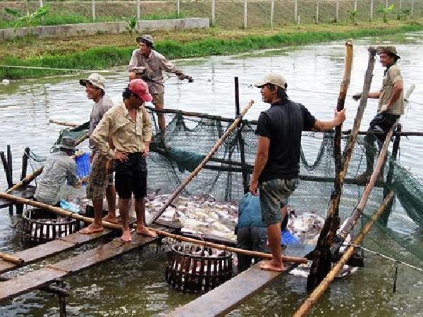 Ngành cá tra Việt Nam có cần phải xây dựng thương hiệu?