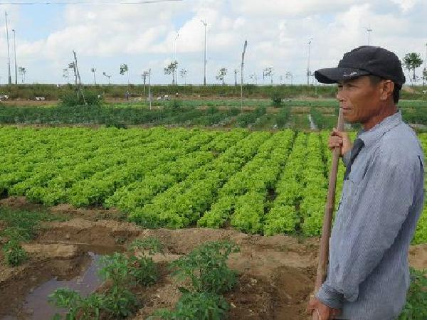 Nông dân mất Tết vì giá rau bèo bọt, chỉ 500 đồng/kg