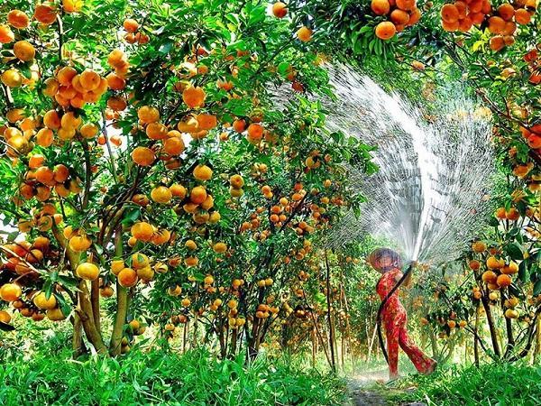 CS-Kỹ thuật canh tác cây ăn quả trong đợt hạn mặn mùa khô