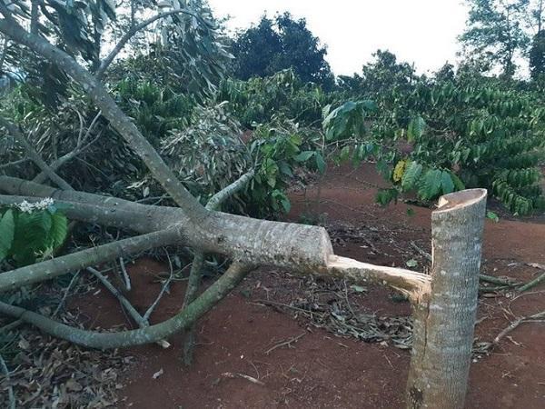 Đắk Lắk: Điêu đứng phát hiện gần 60 cây sầu riêng bị chặt phá trong ngày Tết