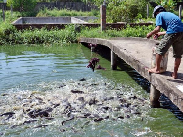 NT-Ảnh hưởng của mực nước và thức ăn đến tăng trưởng của cá trê phi