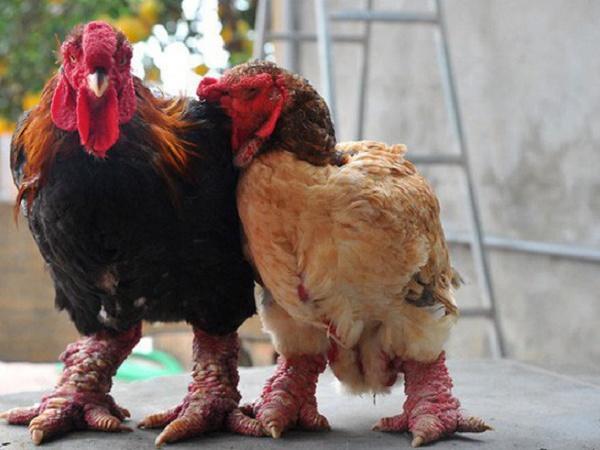 N-Tại sao gà Đông Tảo lại ăn lông lẫn nhau?