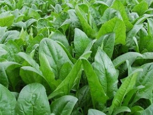 CS-Kỹ thuật trồng chân vịt - loại rau có thể giúp chống ung thư