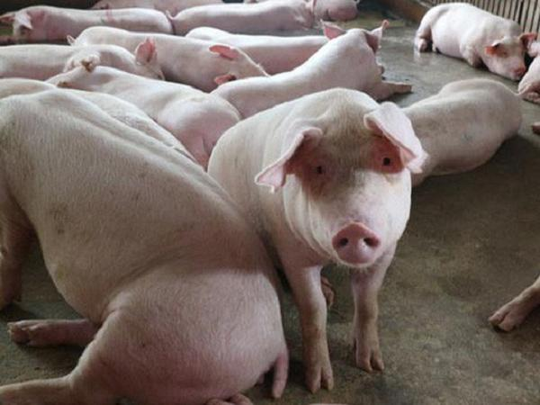 Giá lợn hơi sẽ xuống dưới 75.000 đồng/kg trong tuần tới