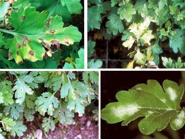 SB-Những tác nhân gây bệnh đốm lá trên cây hoa cúc và cách phòng trị