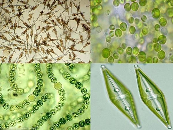 NT-Lợi và hại của tảo trong ao tôm