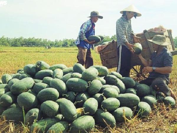 Mối lo vỡ trận gần 22 nghìn tấn dưa hấu Quảng Ngãi