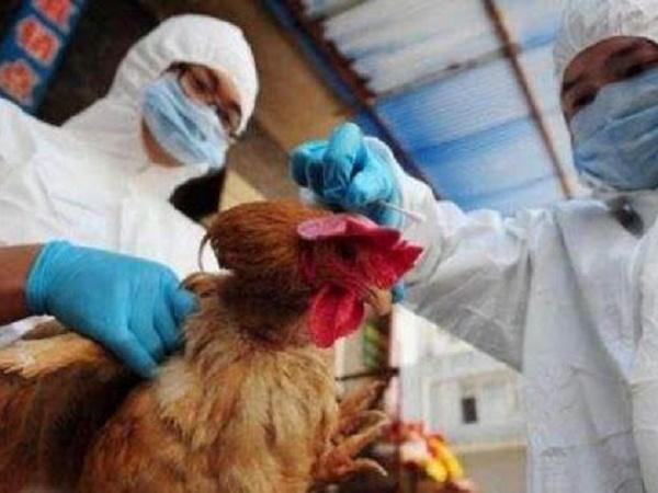Thiếu ngân sách phòng chống dịch cúm gia cầm A/H5N6