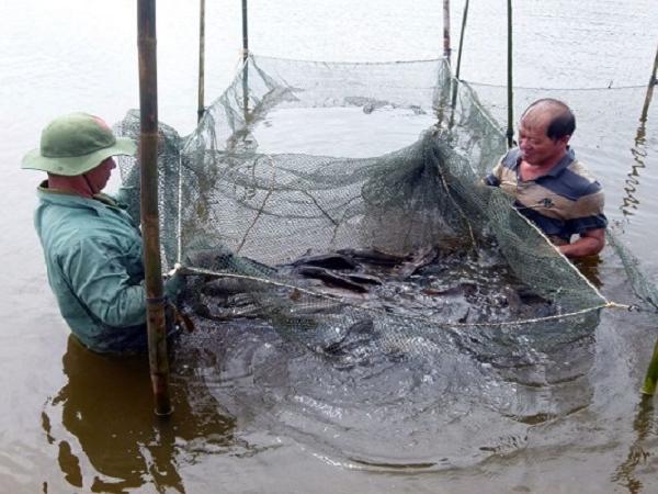 NT-Kỹ thuật nuôi cá mú trong lồng lưới