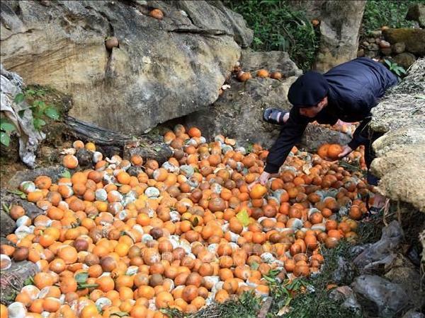 Biện pháp giảm tổn thất khi cam rụng quả hàng loạt