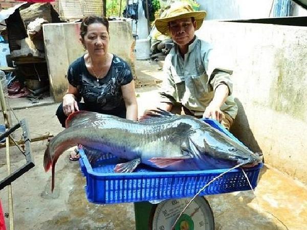 Cá lăng đuôi đỏ – loài cá nước ngọt đáng nuôi hiện nay