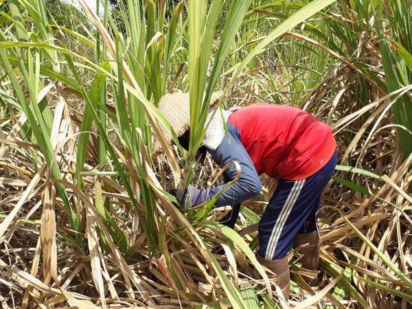 Hạn hán khốc liệt biến hơn 7.000 ha mía thành cỏ