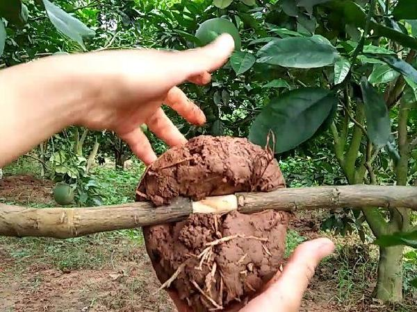CS-Kỹ thuật chiết cành cây ăn quả và những điều cần lưu ý