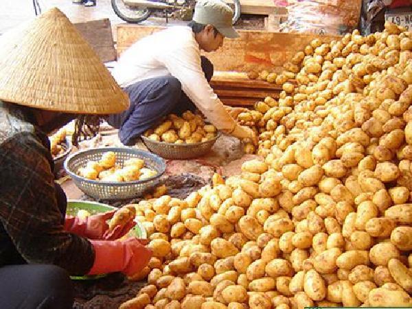 TH-Kĩ thuật bảo quản khoai tây sau thu hoạch