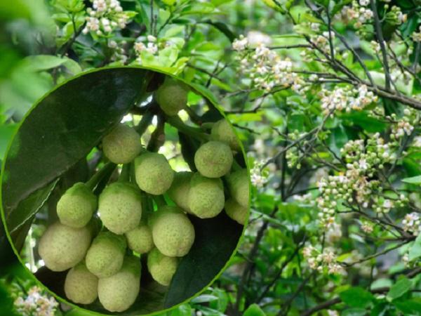 CS-Bí quyết để chống rụng hoa và quả non trên cây bưởi diễn