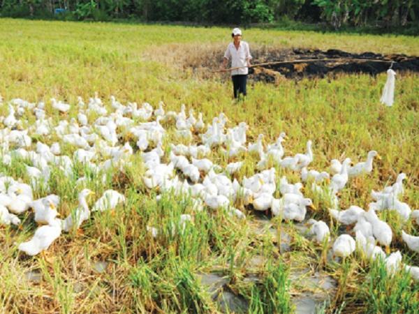 Nguy cơ cao cúm gia cầm A/H5N1 bùng phát trở lại từ đàn vịt chạy đồng