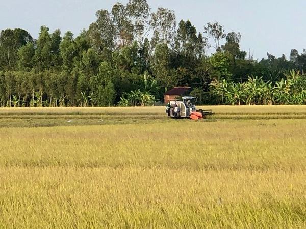 Kịch bản về an ninh lương thực và xuất khẩu gạo: Giá lúa gạo có xu hướng tăng