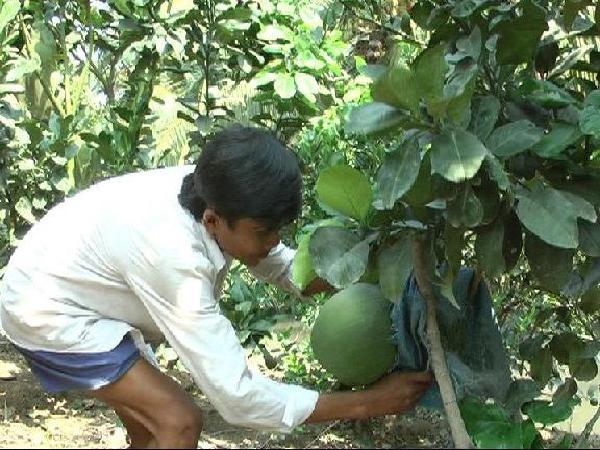 CS-Một số lưu ý chăm sóc cây bưởi da xanh trong và sau hạn, mặn