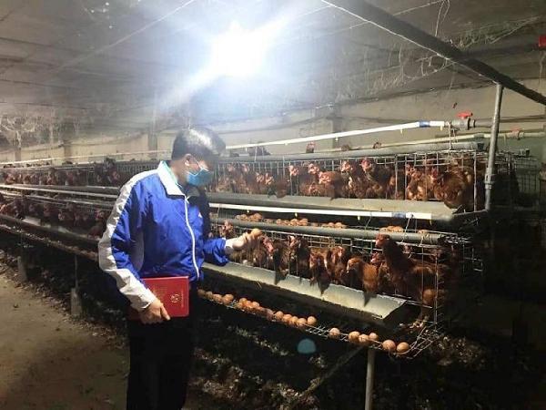 Tình hình bi đát, người chăn nuôi phải tiêu hủy trứng gà giống