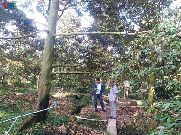 CS-Kỹ thuật giải mặn cho cây sầu riêng đơn giản và hiệu quả