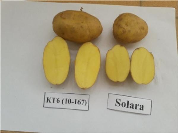 CS-Giống khoai tây mới chứa gen kháng bệnh, cho năng suất cao