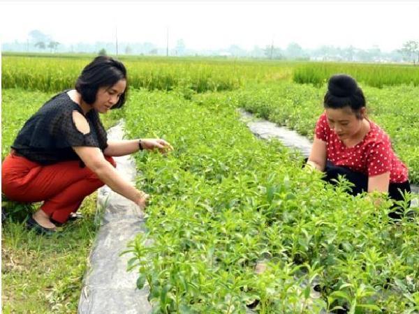 CS-Kỹ thuật trồng và chăm sóc cây Cỏ ngọt Stevia