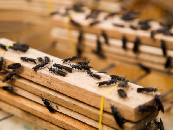 N-Kỹ thuật nuôi ruồi lính đen