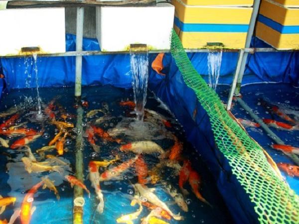 Thanh niên trẻ khởi nghiệp từ cá Koi, thu về 500 triệu/năm