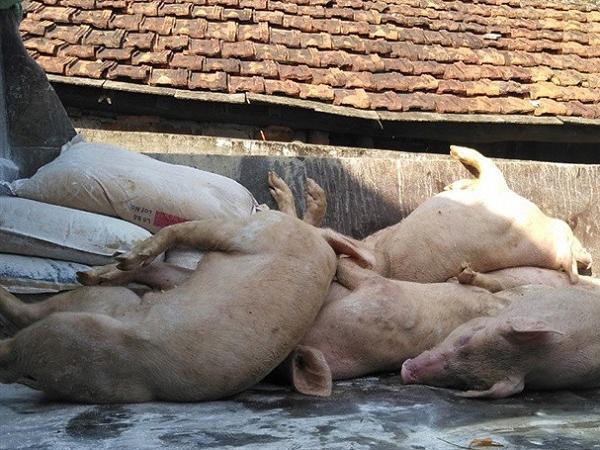 Báo động: Dịch tả lợn châu Phi đang trở lại, Bộ NN&PTNT ra công văn khẩn