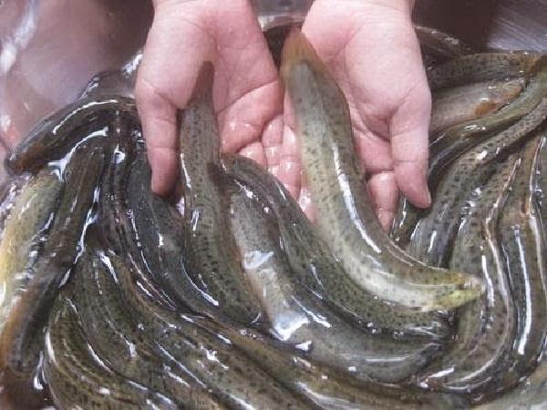 Nhân giống - kĩ thuật khó nhất trong nuôi cá chạch bùn