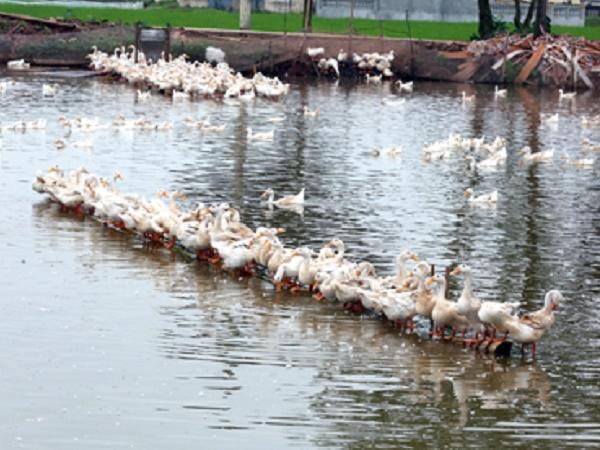 Cúm A/H5N6 lại xuất hiện, hàng ngàn con gia cầm bị tiêu hủy
