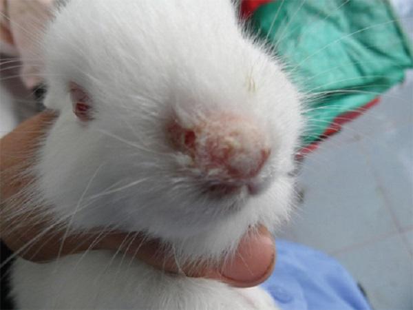 CB-Bệnh nấm da - nỗi lo của người nuôi thỏ