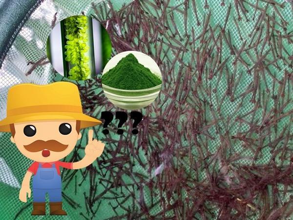"""NT-Tảo tươi hay tảo bột thì tốt hơn cho tôm giống """"lớn nhanh như thổi""""?"""