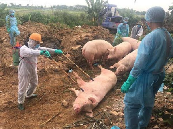 Người chăn nuôi chú ý: dịch tả lợn châu Phi đã bùng phát trở lại