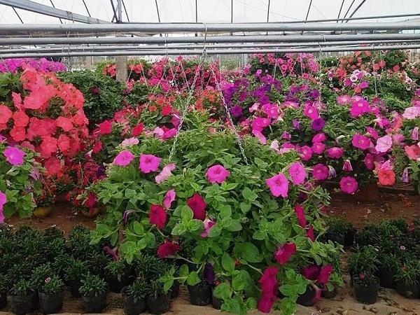 Kết hợp tưới nhỏ giọt với giải pháp nông nghiệp thông minh trong trồng hoa