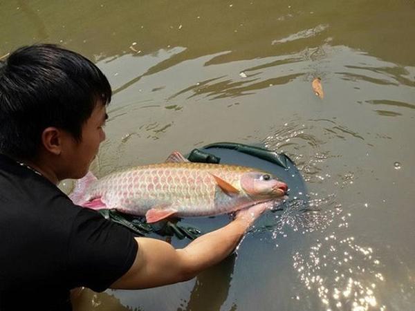 Cá dầm xanh - loại cá đặc sản cho hiệu quả kinh tế cao