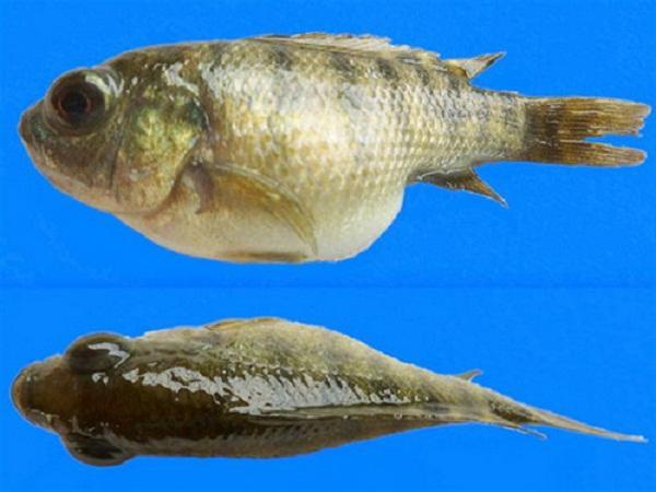 CB-Dịch chiết quế và gừng trị bệnh xuất huyết, mắt lồi trên cá rô phi
