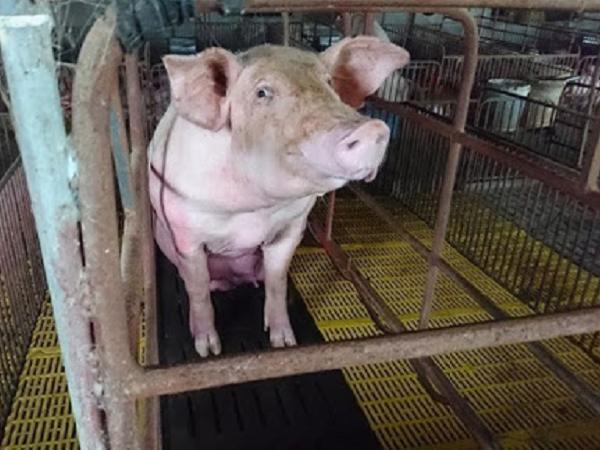 Trong tháng 6 sẽ có lô lợn sống đầu tiên nhập khẩu từ Thái Lan