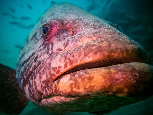 CB-Những bệnh nguy hiểm trên cá mú liên quan đến Iridovirus