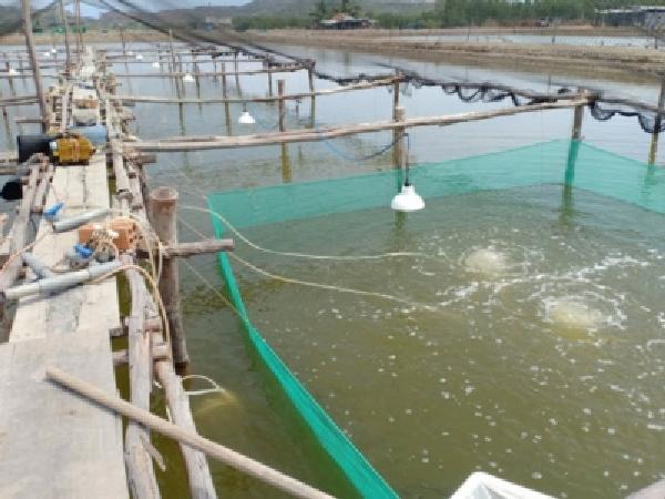 Ương cá bớp giống kiếm hàng trăm triệu đồng/ha