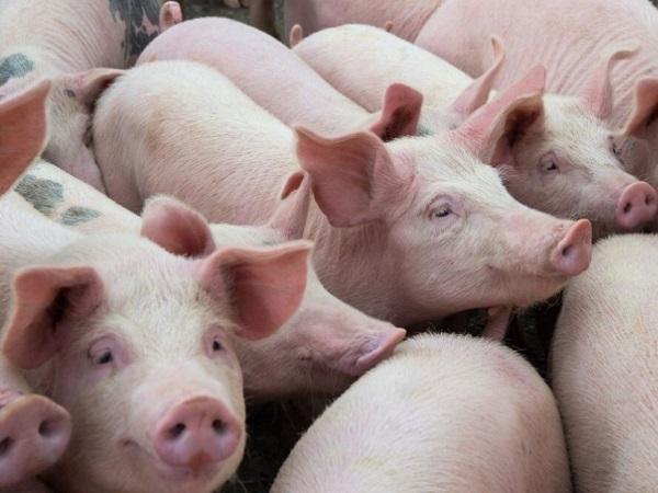 Heo sống Thái Lan chính thức đổ về, giá lợn hơi lao dốc