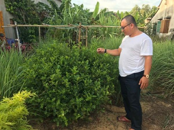 Trồng cây mọc hoang để lấy lá, thu tiền tỷ mỗi năm