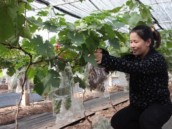 Thu 1,2 tỷ đồng/năm từ trồng nho Hạ đen