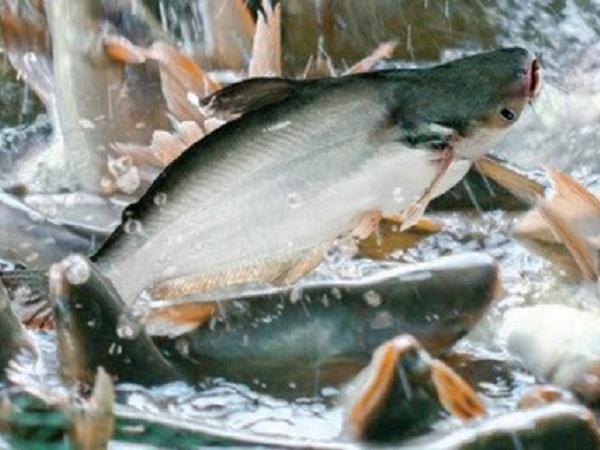 "Lỗ hơn 3.000 đồng/kg cá tra, người nuôi ""méo mặt"""