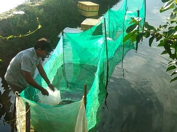 NT-Cách ương cá dìa từ cỡ hạt dưa lên cá giống đạt hiệu quả cao
