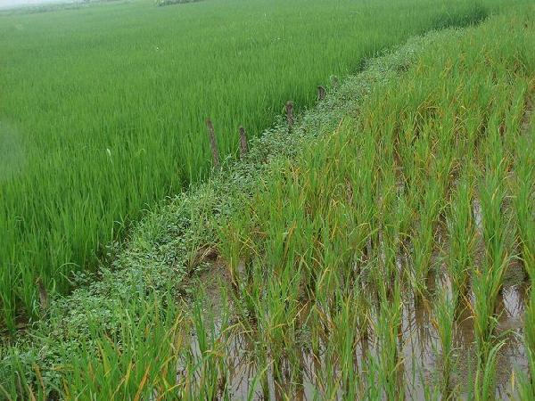 CS-Khắc phục bệnh vàng lá do ngộ độc hữu cơ trong vụ lúa mùa 2020