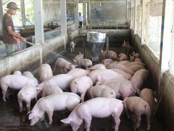 N-Quy trình nuôi dưỡng và chăm sóc heo thịt