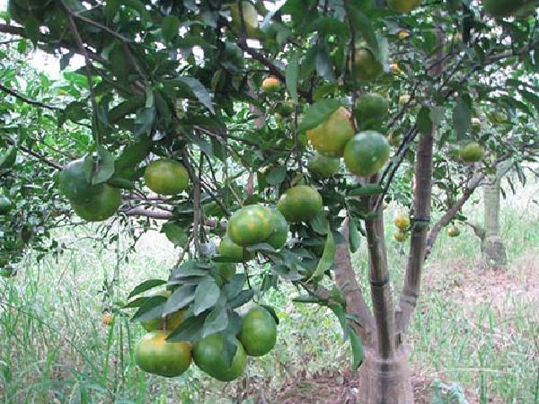 CS-Kỹ thuật xử lý ra hoa trái vụ cho cam quýt giúp giá thành tăng lên 2 - 3 lần